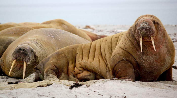 walruses on shore showing off crazy animal teeth