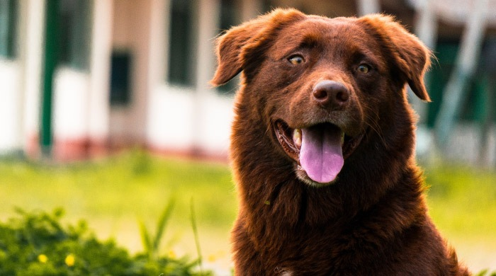 Long-haired chocolate colored dog sits outside and smiles with its tongue out